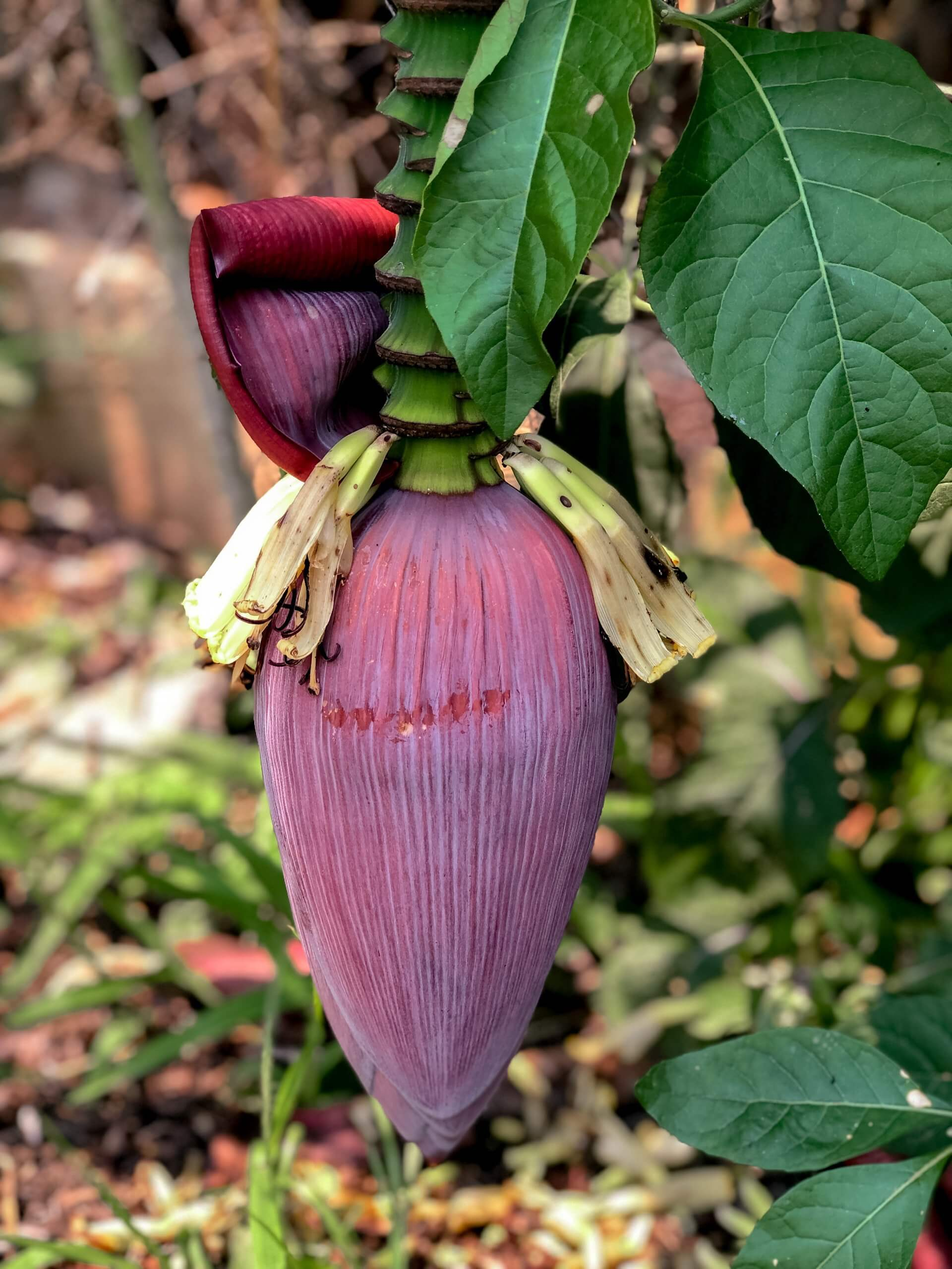 A banana flower at the blue lagoon 3 in Vang Vieng