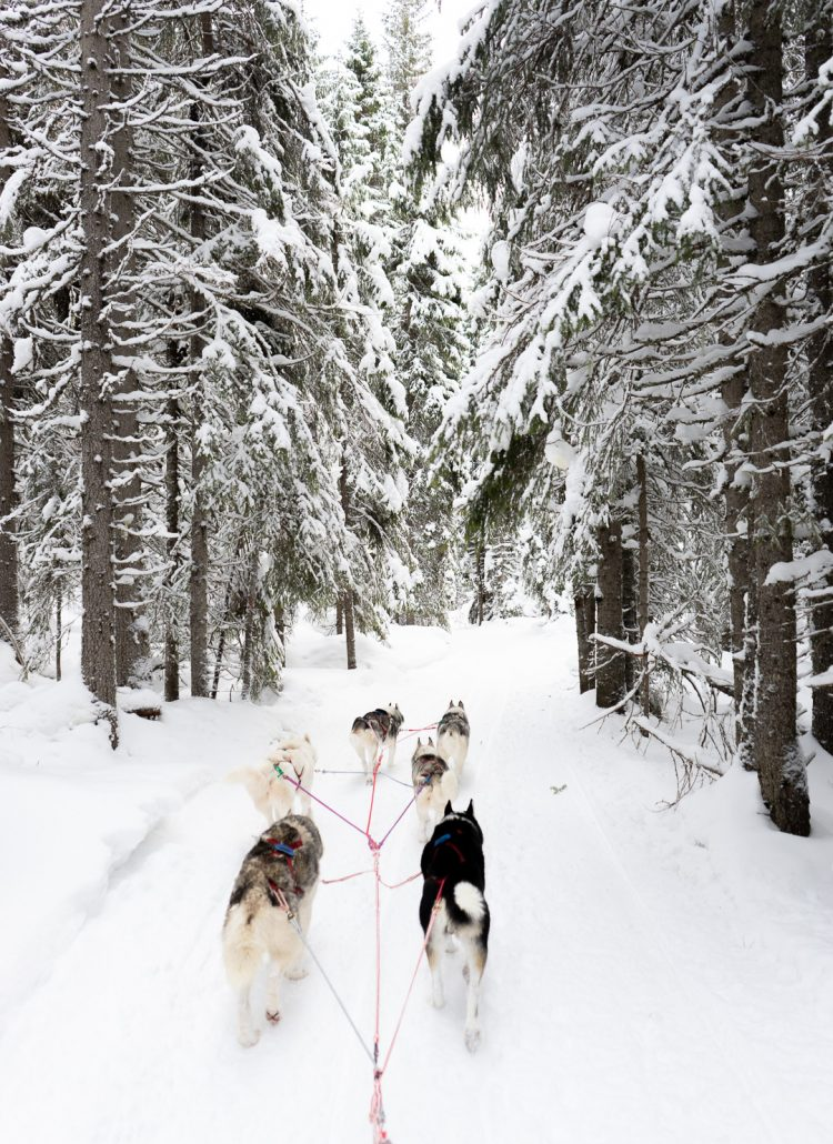 Dog sledding through snow covered trees in Northern Sweden