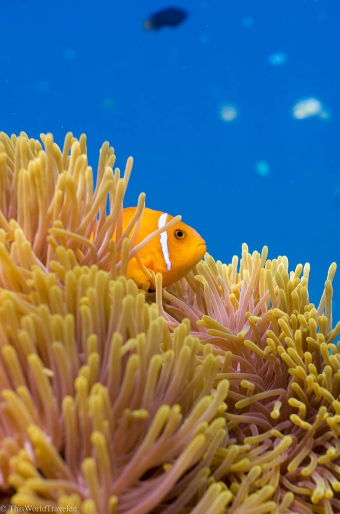 A bright orange clownfish in the Maldives