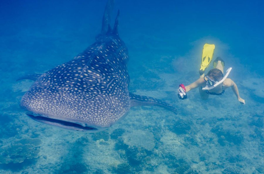 girl swimming next to a giant whale shark in the maldives