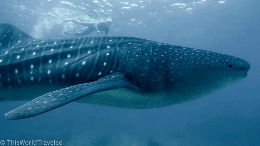 Snorkeling with a whale shark in the South Ari Atoll in the Maldives