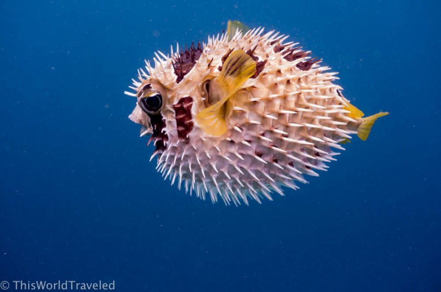 A pufferfish with yellow fins and spikes in the Maldives