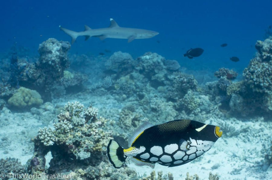 Snorkeling with a white tip reef shark and clown trigger fish in the Maldives