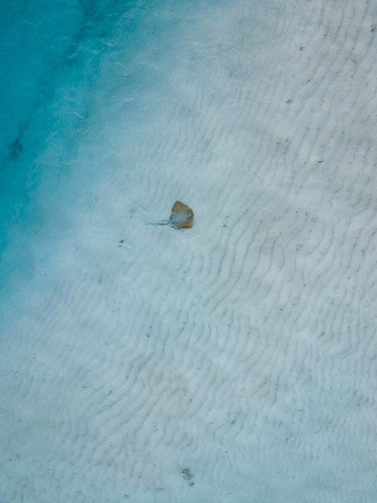 Drone shot of a stingray swimming in shallow water in the Maldives