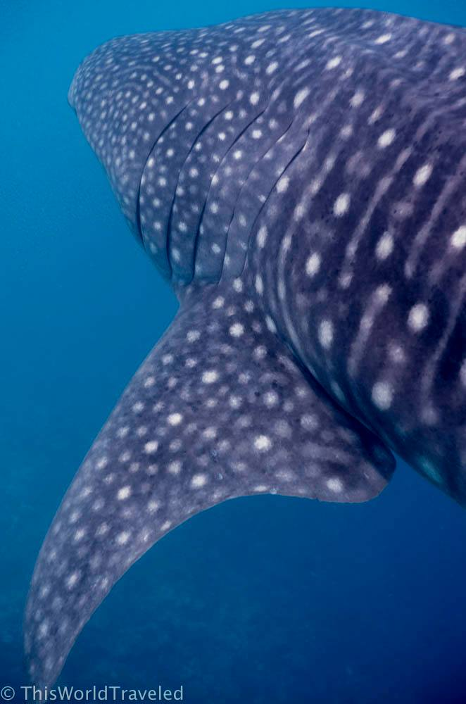 Swimming with a whale shark in the South Ari Atoll on a Maldives vacation
