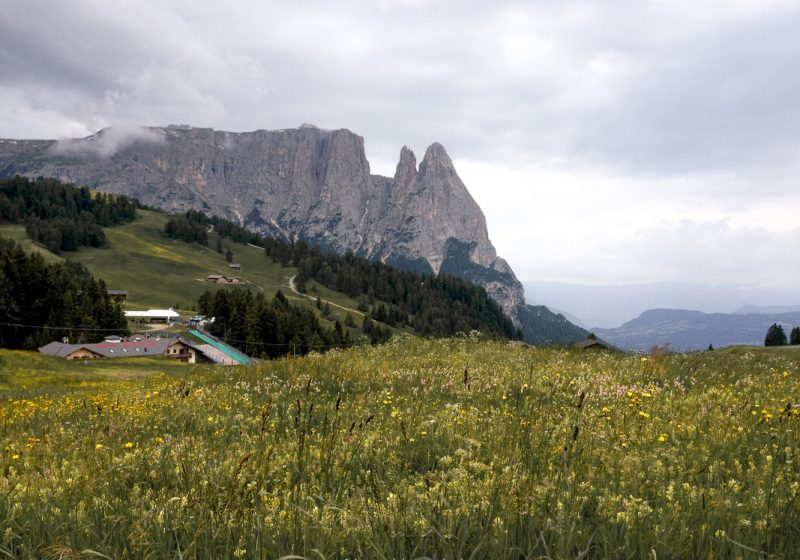 Yellow wildflowers and mountains in the largest alpine meadow in Italy at Alpe di Siusi