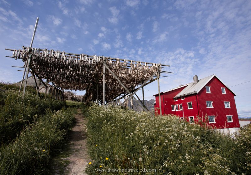 Stockfish drying outside on the racks in the Lofoten Islands in Norway