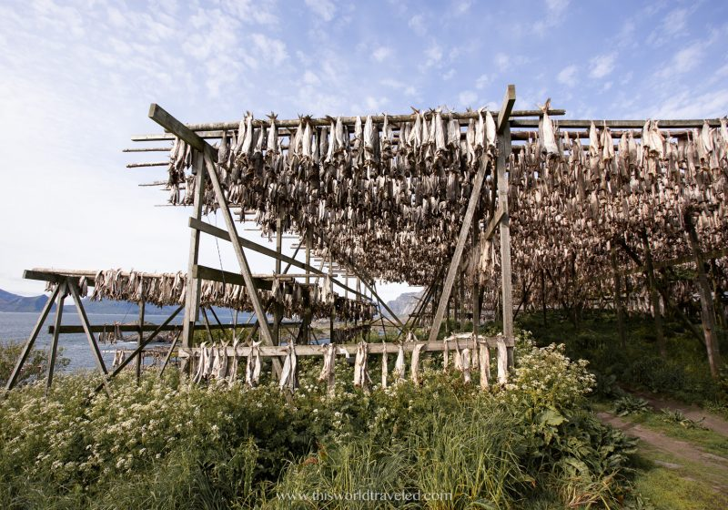 Stockfish drying outdoors on drying racks in the Lofoten Islands in Norway