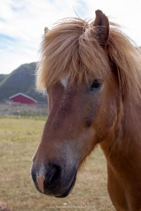 An Icelandic horse at the Hov Gård riding center in the Lofoten Islands in Norway