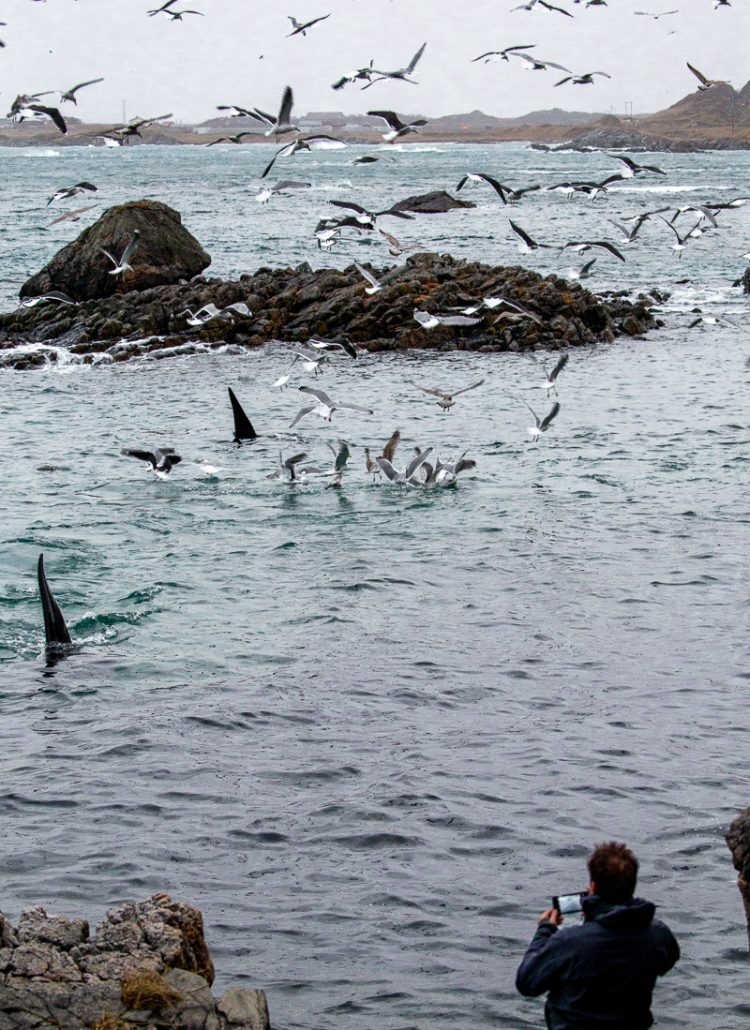 A group of male orcas balling up the herring while people watch from the shore