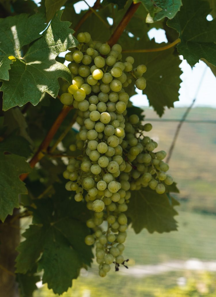 A bunch of glera grapes hangin from a vine in one of the vineyards in northern Italy