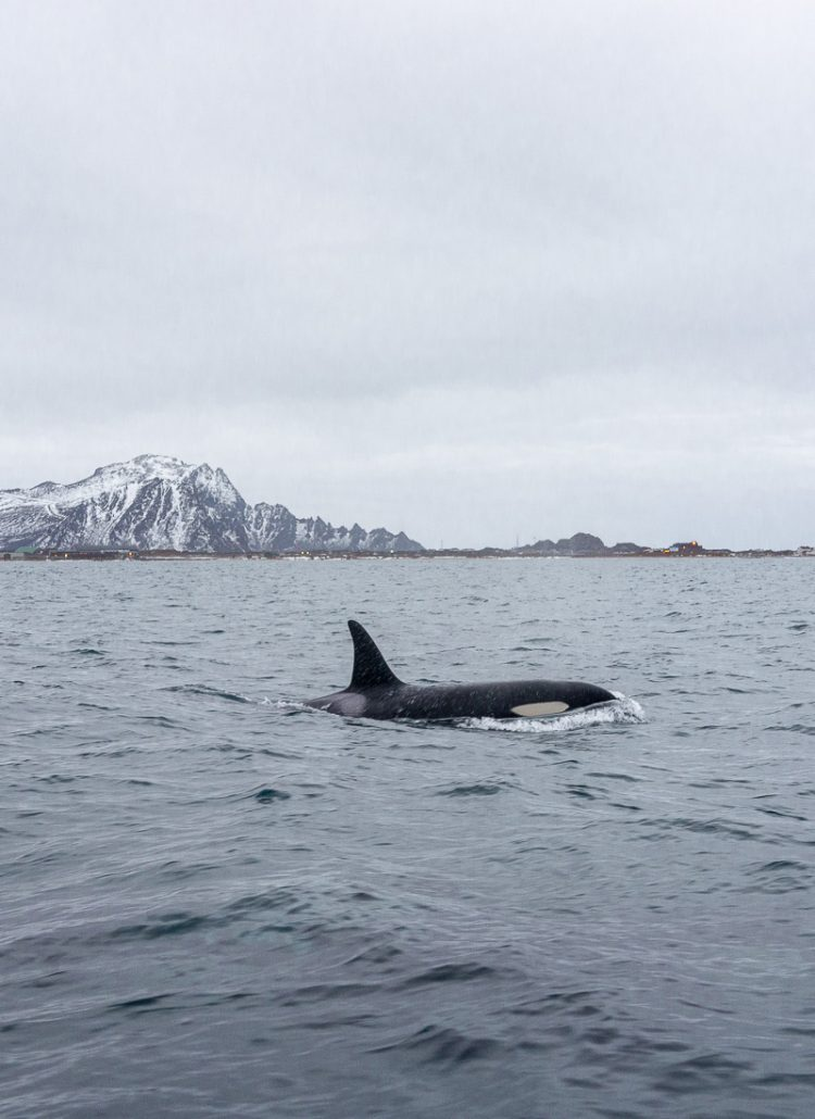 An orca in the wild in northern Norway with snow covered mountains in the background