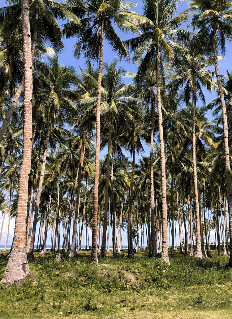 Palm trees lining a white sand beach called Alegria Beach in Siargao