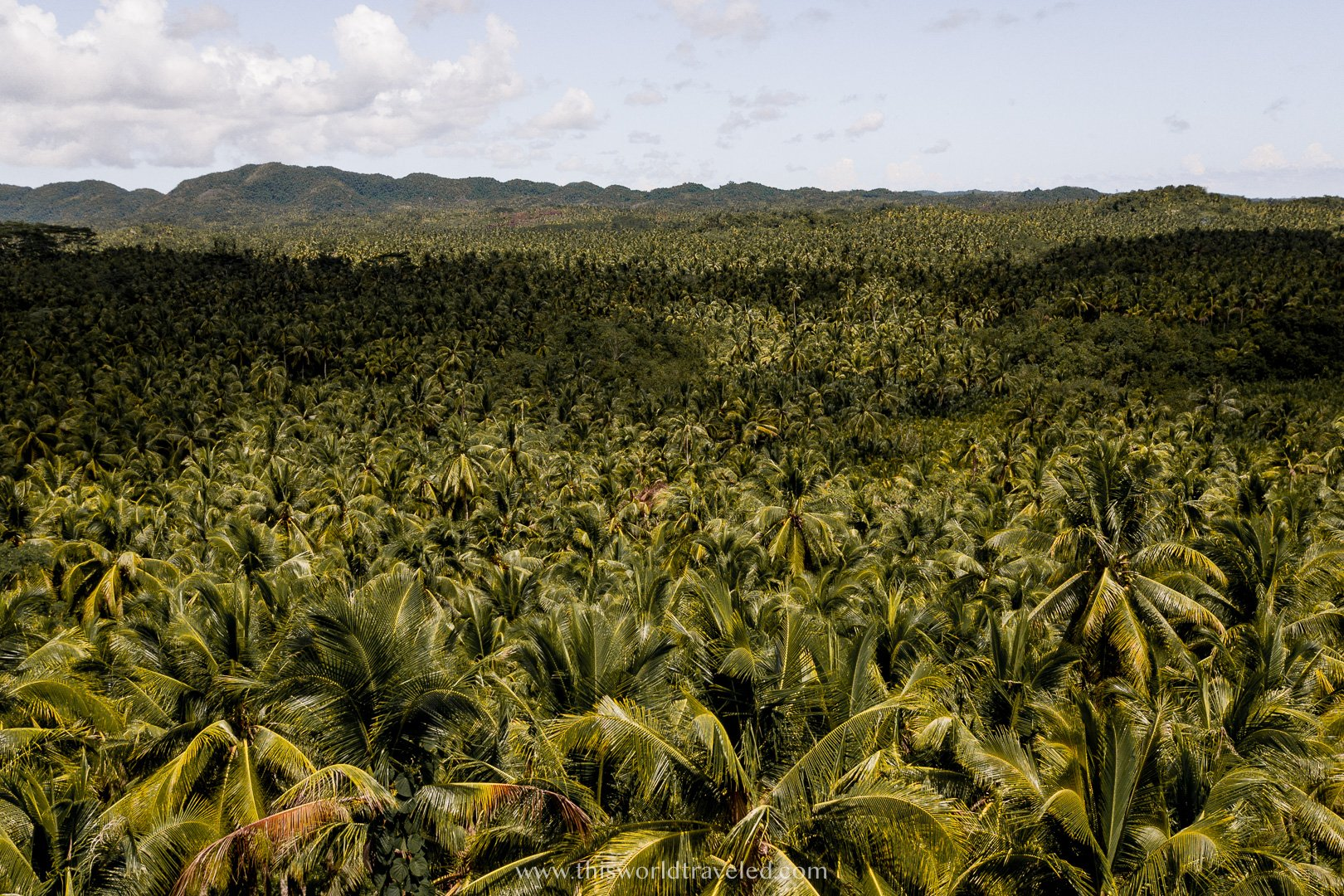 A large forest of palm trees as far as the eye can see