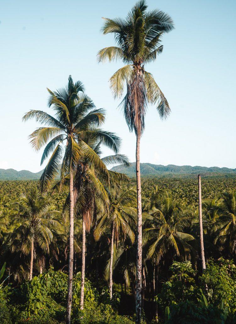 A large coconut palm tree farm