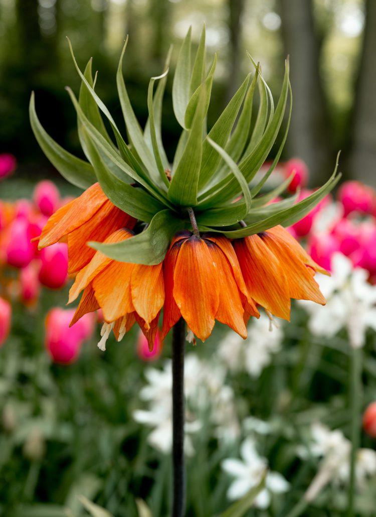 An orange flower at the Keukenhof Gardens in the Netherlands