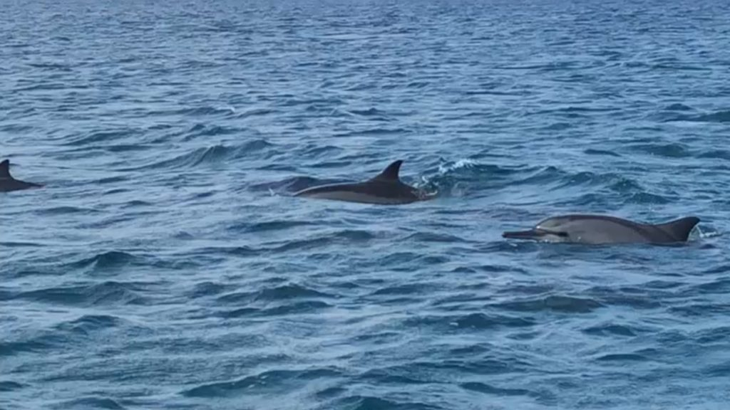 Dolphins in the Maldives