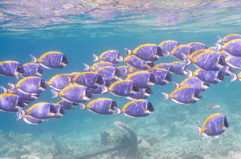 A large group of small blue and yellow fish in the Maldives